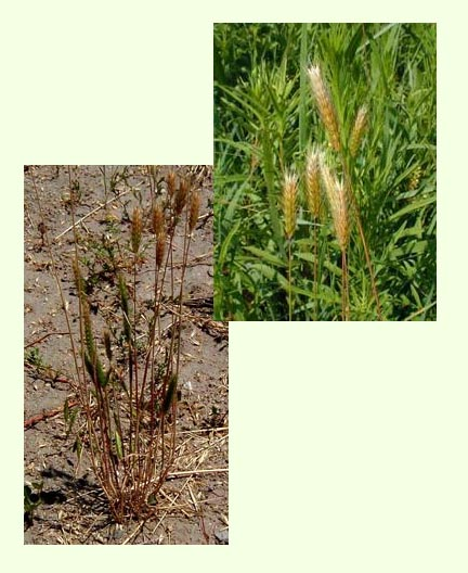 Two photographs of barley plants