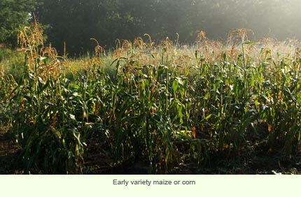 Early variety of maize or corn