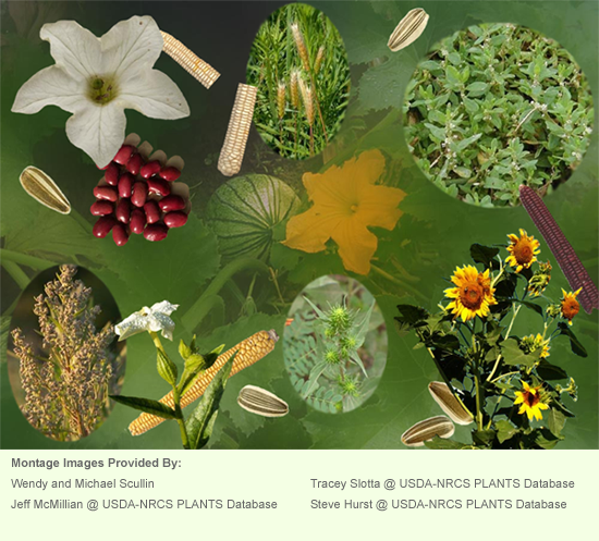 Montage including phtographs of ears of corn, sunflower seeds, beans and squash; also included are tobacco, barley, goosefoot, sunflower, knotweed, and sumpweed plants