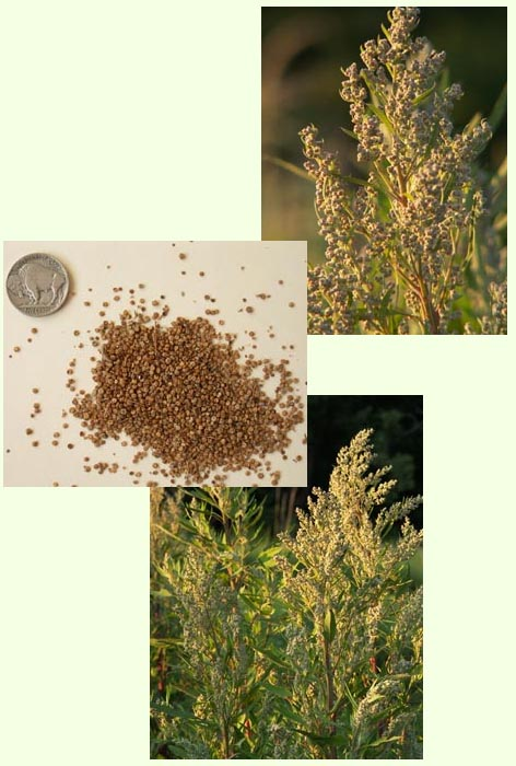 Photographs of goosefoot and seeds