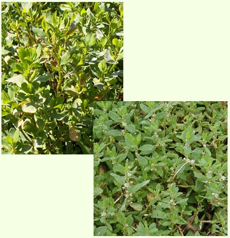 Two photographs of knotweed plants