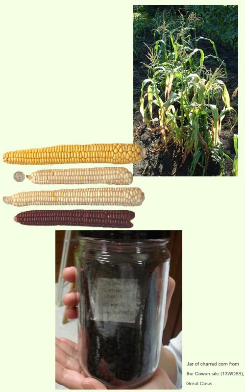 Photographs of corm plants, ears of corn and a jar of charred corn from the Cowan site (13WD88), Great Oasis