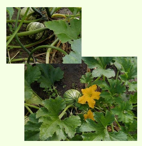 Two photos of squash within its vines