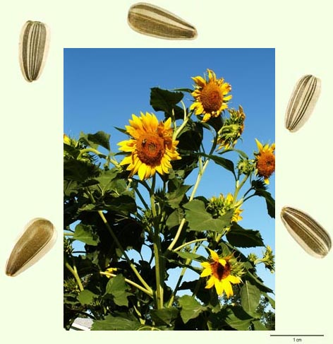 Photo of sunflower plant with seeds around it (scale 1 cm for seeds)