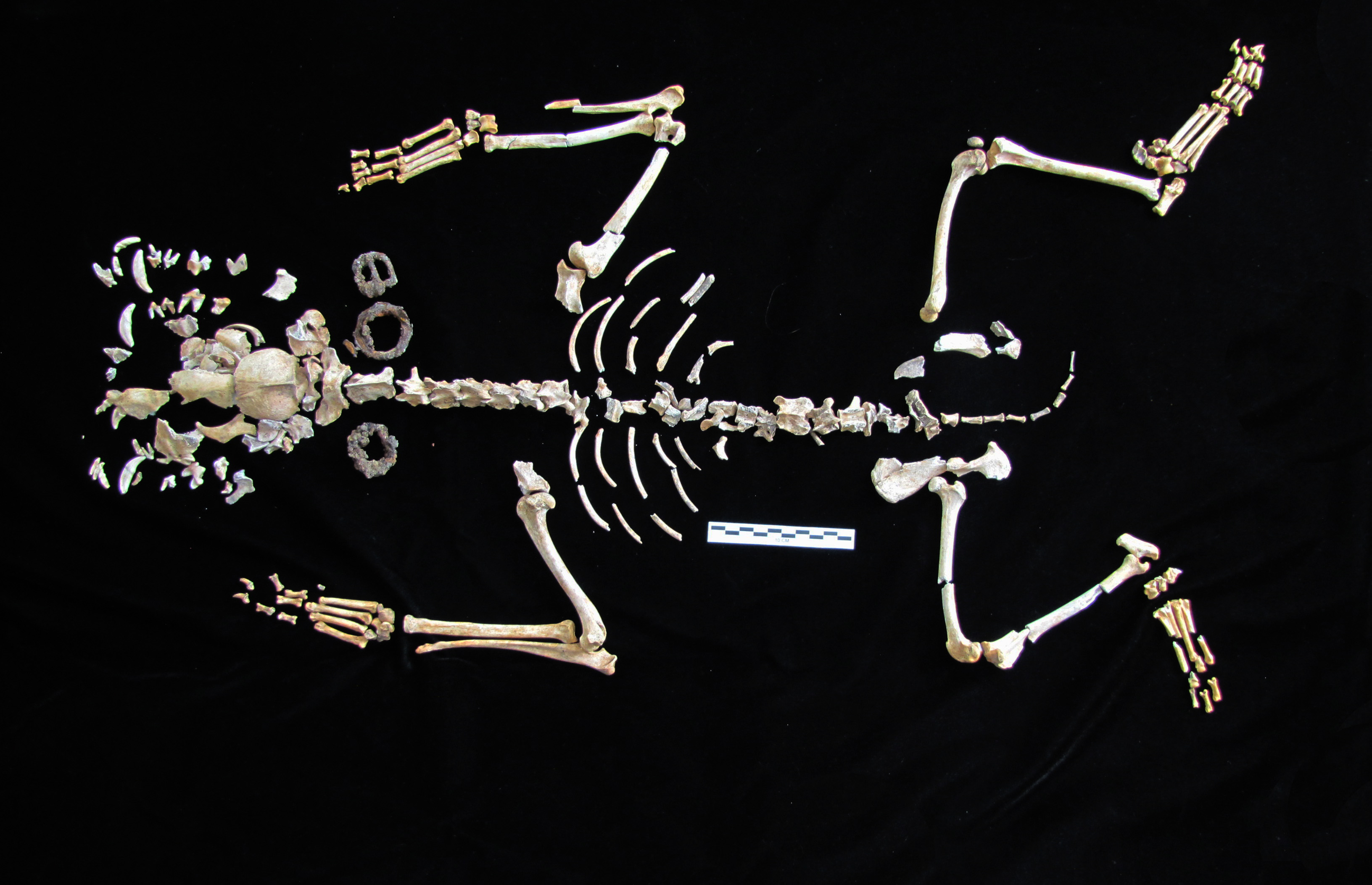 Dog Skeleton from Davenport Excavation